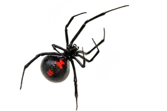 how to get rid of funnel web spiders newcastle