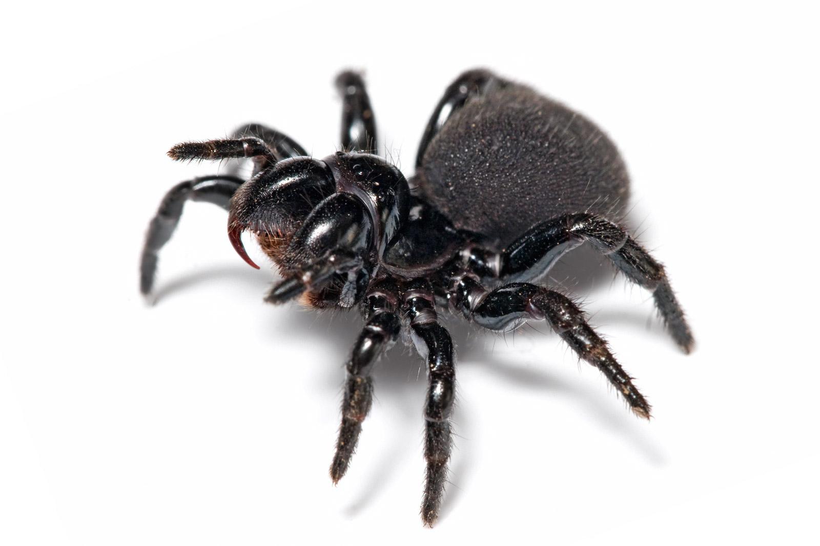spider de