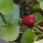 Strawberry Picking in the Valley